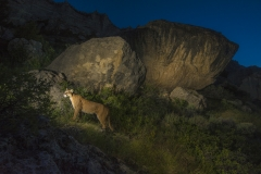 A mountain lion patrols its territory in the Wind River Range in Wyoming.