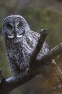 Great Grey owls inhabit the greater Yellowstone ecosystem.
